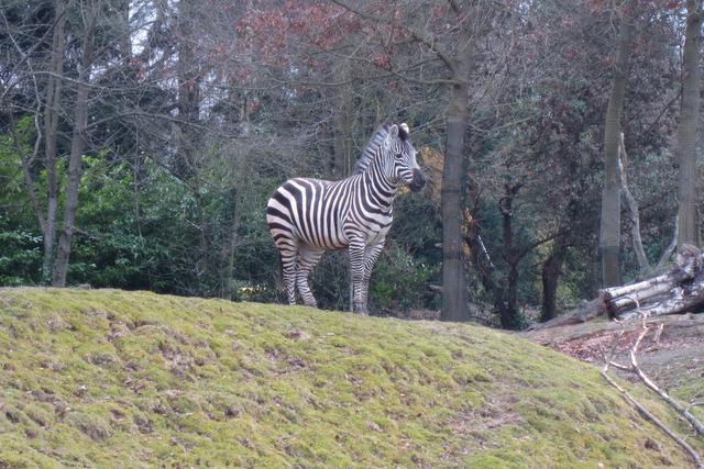 Zebra on the savanna