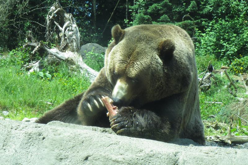 Nom nom nom, says bear