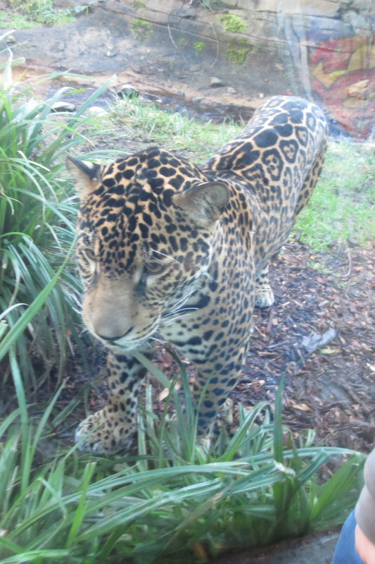 Hello, jaguar!